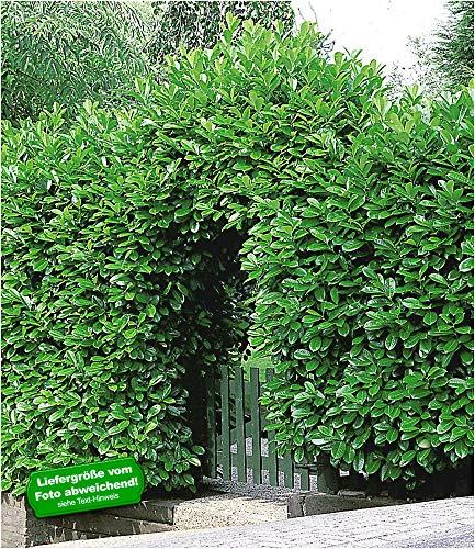 BALDUR-Garten Immergrün Kirschlorbeer-Hecke 1 Pflanze Prunus laurocerasus Rotundifolia winterhart