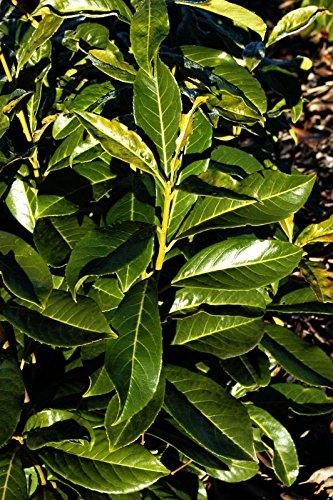 Kirschlorbeer Kaukasischer Kirschlorbeer Prunus laurocerasus Caucasica Containerware 40-60 cm