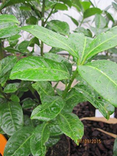 Prunus laurocerasus Ani R - Kirschlorbeer Ani R