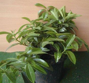 bodendeckender Kirschlorbeer Prunus laurocerasus Mount Vernon 40 cm breit im 5 Liter Pflanzcontainer