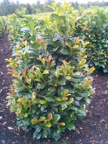 immergrüner Kirschlorbeer Prunus laurocerasus Etna -R- 40-60 cm hoch im 5 Liter Pflanzcontainer