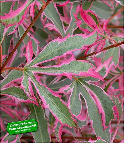 BALDUR-Garten Japanischer Zwerg- Ahorn Marlo 1 Pflanze Acer palmatum Ahornbaum winterhart
