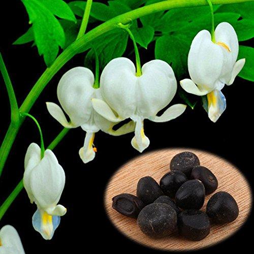 Delaman Dicentra Samen Blumensaatgut Tränendes Herz Pflanzen im Garten Topfpflanzen Balkon 10 Stücke Color  White