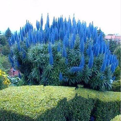 Delaman Pampasras Blumesamen Cortaderia Selloana Mischung Bonsai Saatgut im Garten Topfpflanzen Balkon Pflanzengeschenk 1000 Stücke Color  Blue
