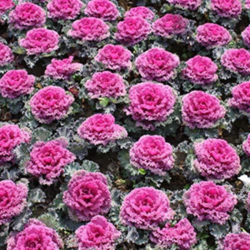 Keptei Samenhaus- Selten Zierkohl Blumensamen Brassica oleracea Mehrfabrig Grünkohl-Samen Mischung von Dürr-Samen Topfpflanzen fuer Garten und Balkon