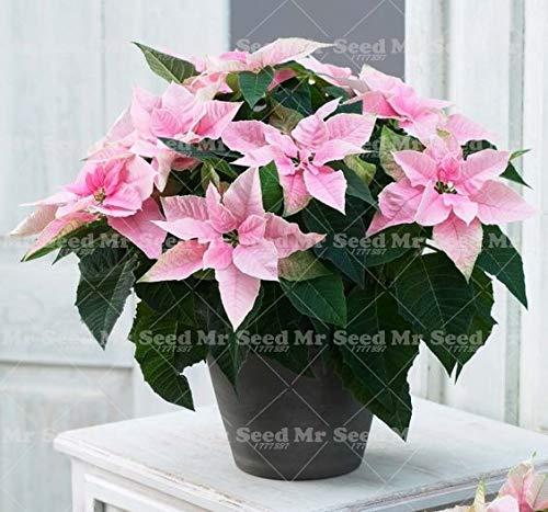 Shopmeeko 100 Stück Bonsai Weihnachtsstern Pflanze Euphorbia Pulcherrima seltene Blütenpflanzen Pflanze Balkon Topfpflanzen 5