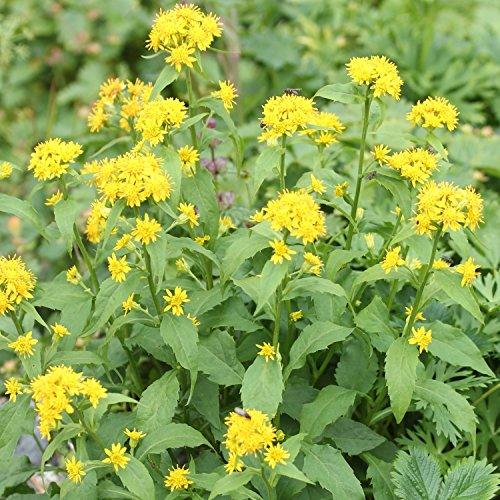 Echte Goldrute - Solidago virgaurea - alte Zier-  Arzneipflanze - 150 Samen
